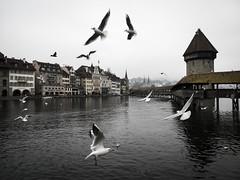 Switzerland 02 (arsamie) Tags: swiss lucerne luzern birds seagulls lake river bridge old wood wooden city cityscape switzerland europe tower water riverfront