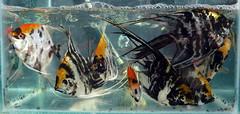 Skalare - Freshwater Angelfish - Pterophyllum scalare (Wolfgang Bazer) Tags: 昆明花鸟市场 flower bird market blumen und vogelmarkt kunming yunnan china skalare freshwater angelfish pterophyllum scalare aquarium fish fische aquariumfische