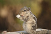 Indian Palm Squirrel (traptiantiwary) Tags: squirrel indianpalmsquirrel animal background bokeh food canoneos india