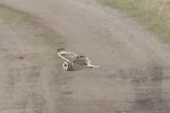 Short-eared Owl (asio flammeus) (mrm27) Tags: owl shortearedowl asio asioflammeus eldernell cambridgeshire