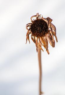 Coneflower In Winter