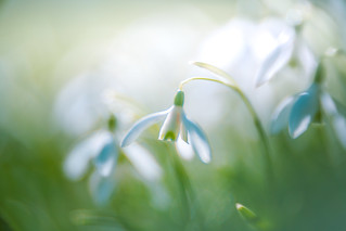 Spring Crocus, Snowdrops series - 4