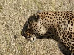 big male, Botswana