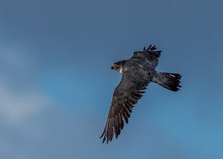 JWL4174  Peregrine Falcon..