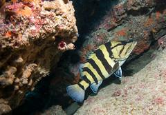 Acanthistius cinctus Yellow-banded Wirrah (Marine Explorer) Tags: scuba nature marine underwater australia marineexplorer