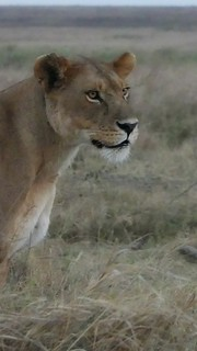 Lady Lion always on the lookout