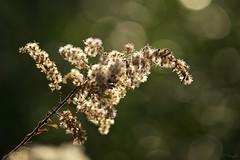 セイタカアワダチソウ Canada goldenrod (takapata) Tags: sony sel90m28g ilce7m2 macro nature