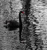 Something red.     black swan, red beak (evelynvantilborg) Tags: zwanen swan red blackswan spiegeling reflection black