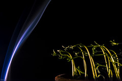 Phototropism (Siminis) Tags: siminis heraklio crete greece phototropism bluelightreception blue light reception bluelight