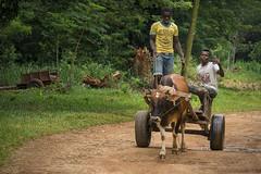 Transportation in Zanzibar (hph46) Tags: africa eastafrica tanzania sansibar zanzibar transport ochsengespann menschen people yokeofoxen wald sony alpha6500 canonef70200mm14lisusm