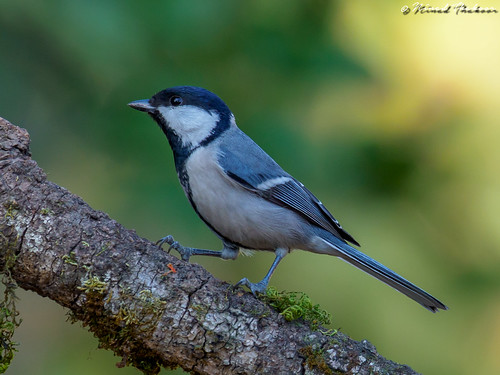 """Cinereous Tit (Lifer) • <a style=""""font-size:0.8em;"""" href=""""http://www.flickr.com/photos/59465790@N04/39680341324/"""" target=""""_blank"""">View on Flickr</a>"""