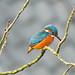 Common Kingfisher (Corine Bliek) Tags: alcedoatthis bird birds vogel vogels natuur nature wildlife water stream sloot kingfisher