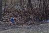Bluebirds (brucetopher) Tags: blue bird bluebird birds birding birdwatching watch eastern