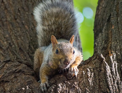 squirrel (andyscho2004) Tags: squirrel nature wildlife park tree afternoon sunlight nikon d7100 montreal quebec canada
