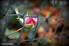 Rosa in gabbia (pinkystar_84) Tags: rosa roses giardino autunno autumn colore colori colors natura fiori flora fleurs flower canon eos700d