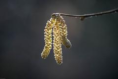 Backlit (Malc H) Tags: catkins buds spring twig tree winter things seasons