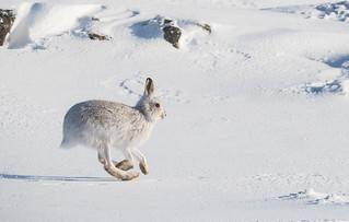 Mountain Hare, Glenshee