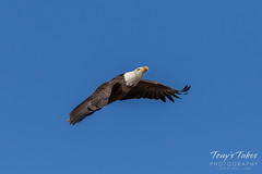 Bald Eagle approach and landing - 8 of 27