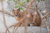 Caracal. (LisaDiazPhotos) Tags: caracal lisadiazphotos living desert palm wildlife