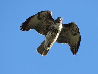 Red-tailed Hawk aloft