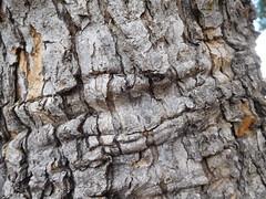 Saggy Bark (earthdog) Tags: 2018 nikon nikoncoolpixs7000 coolpix s7000 tree bark losgatos work office texture