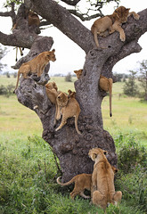 It's Not Easy ... (AnyMotion) Tags: lion löwe pantheraleo lioness cub tree baum liontree 2018 anymotion morukopjes serengeti tanzania tansania africa afrika travel reisen animal animals tiere nature natur wildlife 6d canoneos6d ngc npc