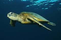 a daybreak swim (BarryFackler) Tags: marinelife nature hawaii pacificocean diving scuba aquatic marinebiology honaunaubay ecology underwater kona seacreature reef zoology hawaiicounty bigisland ocean tropical konadiving vertebrate hawaiiangreenseaturtle cmydas reptile seaturtle greenseaturtle turtle honu cheloniamydas marinereptile sea water saltwater pacific marine ecosystem southkona fauna animal creature organism sealife polynesia barronfackler hawaiidiving sealifecamera bay outdoor island undersea westhawaii sandwichislands dive diver hawaiiisland honaunau hawaiianislands konacoast bigislanddiving life coralreef barryfackler biology being marineecosystem marineecology 2017 sundaylights