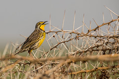 Yellow-throated Longclaw (Thomas Retterath) Tags: thomasretterath nature natur safari amboseli kenya africa afrika kilimanjaro adventure wildlife abenteuer macronyxcroceus gelbkehlpieper vögel bird birds vogel animals tiere yellowthroatedlongclaw