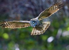 Magical owl (Thy Photography) Tags: greatgrayowl california backyard birdofprey raptor owl photography nature animal wildlife outdoor magicalowl