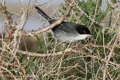 Sardinian Warbler (m) (Roy Lowry) Tags: praiadefaro faro sardinianwarbler sylviamelanocephala