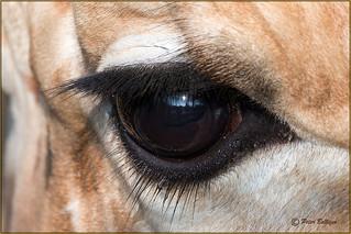 The eyelashes of a giraffe