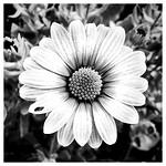 Osteospermum thumbnail