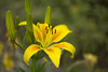 lily (louisa_catlover) Tags: flower plant garden nature outdoor mtwilson bluemountains nsw australia ashridge summer december 2017 christmas holiday family bokeh dof depthoffield canon 60d helios helios442 manual