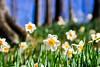 Daffodils in Gibbs Garden 处处都是水仙花 (幻影留梦) Tags: daffodil flower yellow white genus narcissus pseudonarcissus lent lily spring bloom gibbs garden georgia atlanta sony sel24105g zoom lens fe 24–105mm f4 g oss