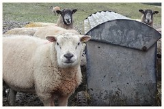 New friends... (zapperthesnapper) Tags: sheep farmanimal farmanimals field rural englishcountryside britishcountryside countryside sonyrx100 sonycybershot sonyimages sony cumbria