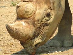 Rhino (FitchDnld) Tags: blackrhinoceros black rhinoceros animal mammal rhino clevelandmetroparkszoo cleveland metroparks zoo clevelandohio ohio ohiozoo clevelandmetroparks clevelandzoo