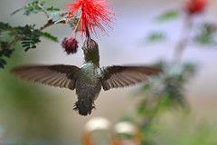 Hummingbird Feeding (NaturalLight) Tags: hummingbird feeding sonoradesertmuseum tucson arizona