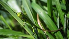 #SriLanka as seen by #ArturoNahum (Arturo Nahum) Tags: arturonahum srilanka travel animal wildflife outdoor greenforestlizardcalotescalotes lizard green