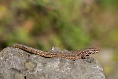 Mauereidechse (Nereus[GER]) Tags: mauereidechse eidechse reptil canon eos 80d 300mm f4 is usm lens saarland smerlot nereusger
