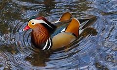 Mandarin 1S9A6270 (saundersfay) Tags: mandarin duck swans blackswans herons