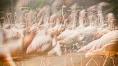 Flamingos - double exposure (Enio Godoy - www.picturecumlux.com.br) Tags: niksoftware birdspark iguassufalls analogefexpro2doubleexposure a6300 brazil fozdoiguaçu flamingos sony birds fall sonyalpha6300 sonyalpha