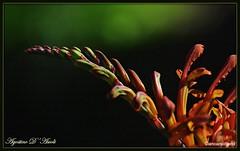 Ricami della natura - Febbraio-2018 (agostinodascoli) Tags: fiore nikon nikkor nature cianciana sicilia agostinodascoli texture