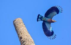 Indian Roller (sreejithkallethu) Tags: indianroller birds birdsofkerala nature birdsofpolachira polachira kollam kerala