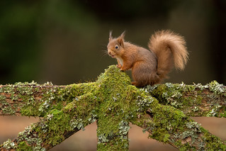 Red Squirrel - On the Fence 2