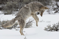 The Pounce - 4698b+ (teagden) Tags: coyote wintercoyote huntingcoyote pounce pouncing jenniferhall jenhall jenhallphotography jenhallwildlifephotography wildlifephotography wildlife wyoming wyomingwildlife photography wild nikon nature naturephotography snow hunting