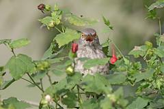 Curve-billed Thrasher (Alan Gutsell) Tags: birding birds wildlife nature alan naturephoto photo texas texasbirds gulf rio grande curvebilled thrasher curvebilledthrasher