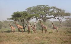 Giraffes (ashockenberry) Tags: giraffe africa african wildlife nature naturephotography landscape serengeti