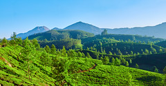IMG_3113 tweak 1 (nickographie) Tags: green kerala munnar godsowncountry teaestate tea