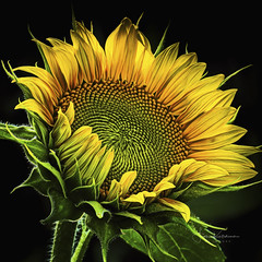 Sunset Sunflower (Fiona Katarina) Tags: sunflower sunset flower yellow green sun