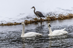 Swans and Blue Heron (leandrews2) Tags: swans heron river winter yellowstone snow